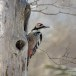 Witrugspecht -  White-backed woodpecker 08