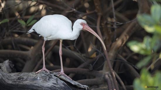 Witte ibis - White ibis 002