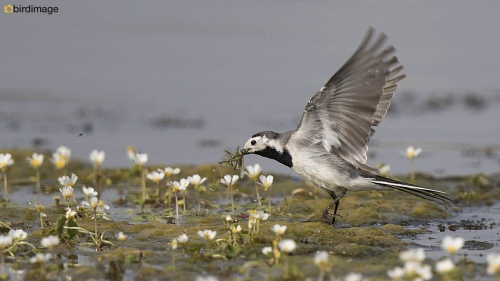 Witte kwikstaart - White Wagtail 08