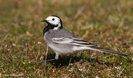 witte-kwikstaart-white-wagtail-03_0