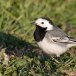 Witte-kwikstaart-White-Wagtail-10