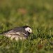 Witte-kwikstaart-White-Wagtail-11