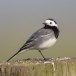Witte-kwikstaart-White-Wagtail-12
