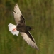 witvleugelstern-_-white-winged-tern-01