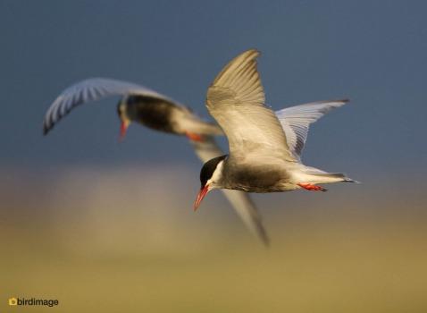 Witwangstern - Whiskered Tern 13