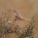 woestijngrasmus-desert-warbler-03