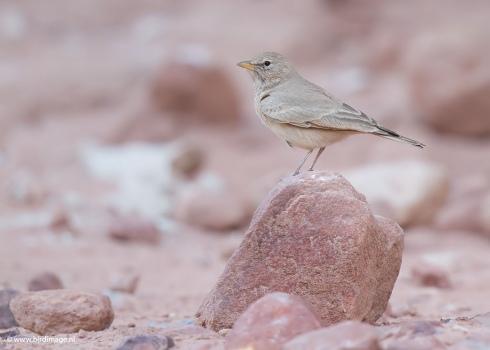 Woestijnleeuwerik - Desert Lark 05