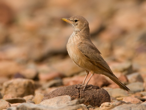 woestijnleeuwerik-desert-lark-01