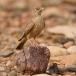 woestijnleeuwerik-desert-lark-03