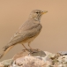 woestijnleeuwerik-desert-lark-04