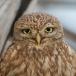 woestijnsteenuil-desert-little-owl-02