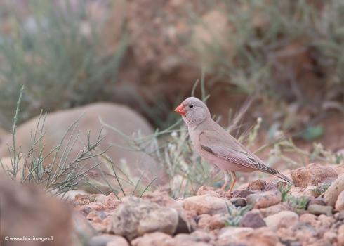 Woestijnvink - Trumpeter Finch 08