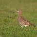 Wulp - Eurasian Curlew 07