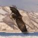 Zeearend -  White tailed eagle 01