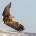 Zeearend -  White tailed eagle 03