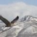 Zeearend -  White tailed eagle 04