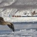 Zeearend -  White tailed eagle 06