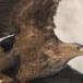 Zeearend -  White tailed eagle 10
