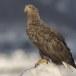 Zeearend -  White tailed eagle 12