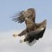 Zeearend -  White tailed eagle 14