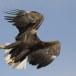 Zeearend -  White tailed eagle 15