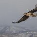 Zeearend -  White tailed eagle 16