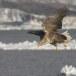 Zeearend -  White tailed eagle 19