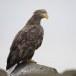 Zeearend -  White tailed eagle 21