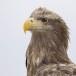 Zeearend -  White tailed eagle 22
