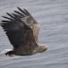 Zeearend -  White tailed eagle 24