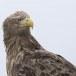 Zeearend -  White tailed eagle 25