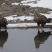 Zeearend -  White tailed eagle 26