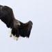 Zeearend -  White tailed eagle 31