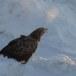 Zeearend -  White tailed eagle 32