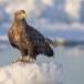 Zeearend -  White tailed eagle 33