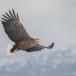 Zeearend -  White tailed eagle 35