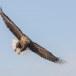 Zeearend -  White tailed eagle 37