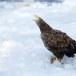 Zeearend -  White tailed eagle 38