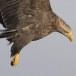 Zeearend -  White tailed eagle 39