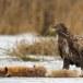 Zeearend -  White tailed eagle 43
