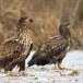 Zeearend -  White tailed eagle 45