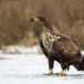 Zeearend -  White tailed eagle 46