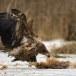 Zeearend -  White tailed eagle 48