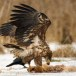 Zeearend -  White tailed eagle 49