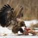 Zeearend -  White tailed eagle 51