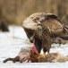 Zeearend -  White tailed eagle 53