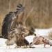 Zeearend -  White tailed eagle 58