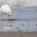 Zilvermeeuw-European-Herring-Gull-12