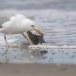 Zilvermeeuw-European-Herring-Gull-13