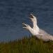 zilvermeeuw-european-herring-gull-09